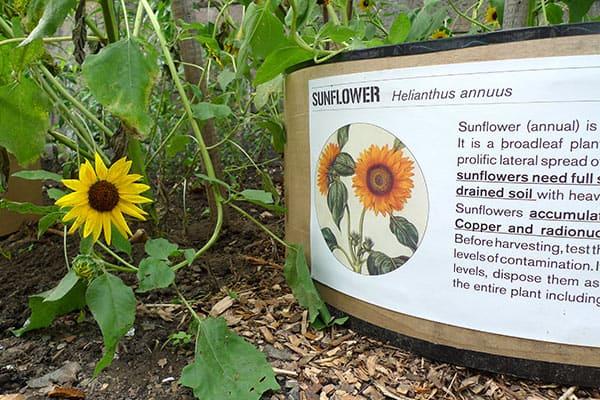 detail_sunflower